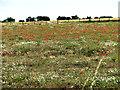 TG2314 : Poppy meadow by Quaker Farm by Evelyn Simak