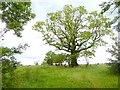NY4336 : Tree near Skelton by Oliver Dixon