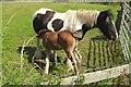 SU1515 : New Forest ponies by the Avon Valley Path by Derek Harper