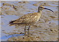TA2412 : Curlew on the Pyewipe Mudflats by Mat Fascione