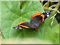 SU0298 : Red Admiral butterfly (Vanessa atalanta) by Vieve Forward