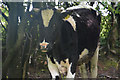 SS9510 : Mid Devon : Cow by Lewis Clarke