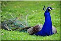 TL4602 : Peacock on Epping Plain by Glyn Baker
