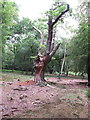 SU9485 : Old oak tree in Burnham Beeches, battered but alive by David Hawgood