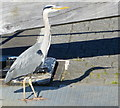 NS8579 : Heron on the Union Canal by Mat Fascione