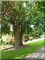 SX9050 : Ancient Tulip Tree (Liriodendron tulipifera), Coleton Fishacre by Derek Voller