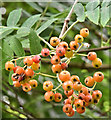 J3773 : Rowan berries, Comber Greenway, Belfast (August 2016) by Albert Bridge