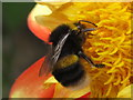 TQ2081 : Buff-tailed bumblebee by David Hawgood
