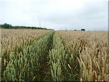 SK7059 : Footpath across a field of wheat by Graham Hogg