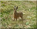 SE8645 : Hare on a field edge by DS Pugh
