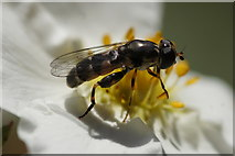 SJ3999 : The hoverfly Syritta pipiens, Melling by Mike Pennington
