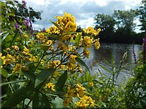 NS3977 : Yellow Loosestrife by Lairich Rig