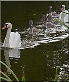 SS9712 : Tiverton : Grand Western Canal - Swans by Lewis Clarke