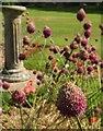 SX9265 : Allium, Tessier Gardens by Derek Harper