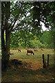 TL3408 : Cattle Grazing by Glyn Baker