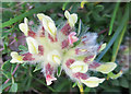 NJ3066 : Kidney Vetch (Anthyllis vulnereria) by Anne Burgess