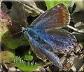NJ2569 : Common Blue Butterfly (Polyommatus icarus) by Anne Burgess