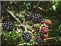 SD4391 : 2016 - an even better year for blackberries? by Karl and Ali