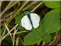 SO8542 : Small White Butterfly by Philip Halling