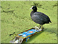 SD7807 : Coot on Canal by David Dixon