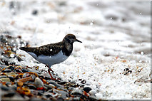 HP5605 : Ruddy Turnstone (Arenaria interpres), Westing beach by Mike Pennington