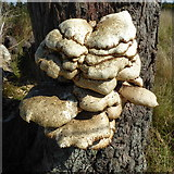 SO8844 : Dryad's Saddle on a tree trunk by Philip Halling
