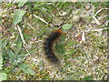 NB1340 : Garden Tiger Moth larva by M J Richardson