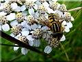 H4189 : Hoverfly on Sneezewort, Gallan Upper (1) by Kenneth  Allen