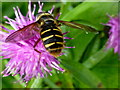 H4189 : Hoverfly on Knapweed by Kenneth  Allen