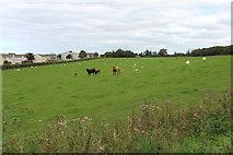 NX1896 : Cattle & Sheep, Girvan by Billy McCrorie