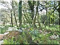 SY8685 : Coombe Heath, woodland by Mike Faherty