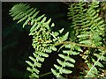 NS3976 : Gall on Male Fern by Lairich Rig