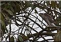 SD5300 : A sparrowhawk by Ian Greig