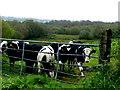 H4071 : Calves, Aghee by Kenneth  Allen