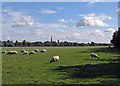 TL2971 : Sheep grazing on Hemingford Meadow by John Sutton