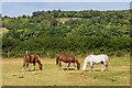 TQ1449 : Horses by Ian Capper