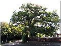 SO6026 : Oak tree in a corner of the Oak House Nursery School site, Brampton Abbotts by Jaggery