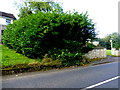 H4671 : Laurel bush along Crevenagh Road by Kenneth  Allen