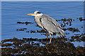 NJ2370 : A grey heron (Ardea cinerea) at Lossiemouth by Walter Baxter