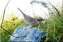 HU3919 : Siberian Accentor (Prunella montanella), Ward of Scousburgh by Mike Pennington