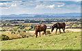 SO9728 : Horses on Nottingham Hill by David P Howard