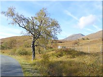 NH1101 : Birch tree beside the road in Glen Garry by Oliver Dixon