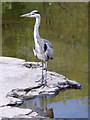 SJ2142 : Grey heron on the River Dee at Llangollen, Denbighshire by Roger  Kidd