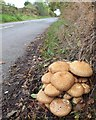 SJ6076 : Fungi at junction of Leigh Lane and Willow Green Lane, Little Leigh by Gary Rogers
