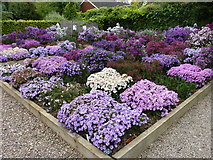 SO7542 : Michaelmas Daisies at Picton Gardens, Upper Colwall by Jeff Gogarty