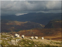 SD1598 : Sheep above Eskdale by Karl and Ali