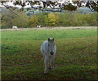 SK4810 : Horses next to Ashby Road in Markfield by Mat Fascione