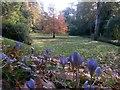 SZ0791 : Bournemouth: crocuses amid autumn colour by Chris Downer