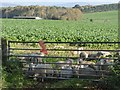 NY4847 : Sheep foldled on root crop by Oliver Dixon