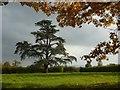 SO8741 : Cedar tree in Earl's Croome by Philip Halling